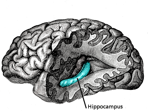 The Hippocampus: Anxiety Cells Found in New Area of the Brain